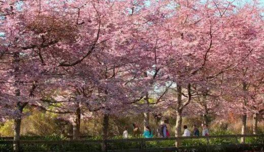【おうち花見】日本以外で見ることのできる桜!